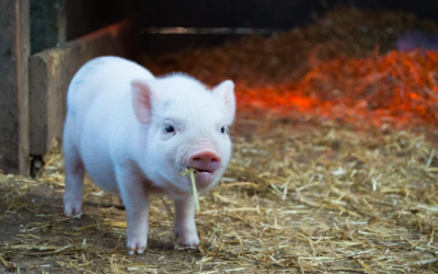 Micro Pig Mania – All you need to know!