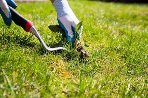 weeding a lawn